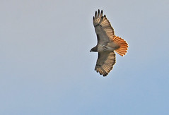 Red-tailed Hawk - Kings Bend Park - © Dick Horsey - Oct 23, 2019