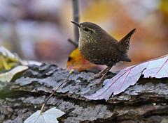 Winter Wren - Tinker Nature Park - © Dick Horsey - Oct 23, 2019