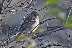 Field Sparrow - Mendon Ponds - © Dick Horsey - Oct 28, 2019