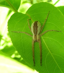 Nursery Web Spider (Bug Eric) Tags: animals wildlife nature outdoors arachnids arachtober spiders pisauridae female araneae arachnida doorcounty wisconsin usa nurserywebspiders pisaurinamira northamerica june252019