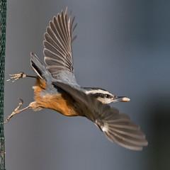 Backyard Bird (nickinthegarden) Tags: redbreastednuthatches redbreastednuthatch abbotsfordbccanada
