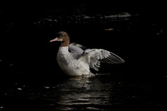 Goosander (jamiemcd17) Tags: goosander wild wildlife bird glasgow riverkelvin nature nikon