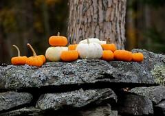 Fall On A Wall (Diane Marshman) Tags: pumpkins pumpkin orange white color fall autumn season pa pennsylvania state nature stonewall wall stone stones rock moss tree outdoors