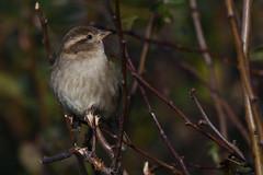 House Sparrow Frampton Marsh RSPB Lincs (JohnMannPhoto) Tags: house sparrow frampton marsh rspb lincs