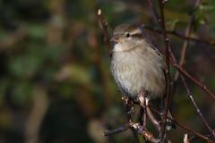 House Sparrow Frampton Marsh RSPB Lincs 1 (JohnMannPhoto) Tags: house sparrow frampton marsh rspb lincs