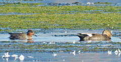 Green-winged Teal (L) & Gadwall (R) - LaSalle Landing - © Candace Giles - Oct 21, 2019