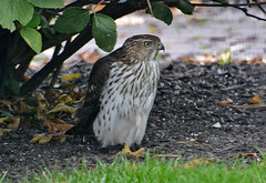 Cooper's Hawk (Juv) - Webster - © Peggy Mabb - Oct 22, 2019