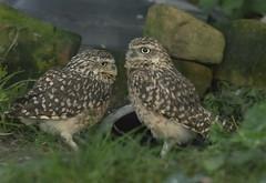 Burrowing Owl (johnandco) Tags: owl bird tree harewood leeds burrowing