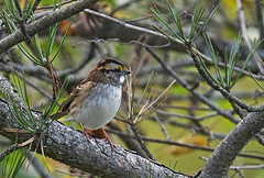 White-throated Sparrow - Kings Bend Park - © Dick Horsey - Oct 23, 2019