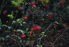 * (PattyK.) Tags: ioannina giannena giannina epirus ipiros balkans hellas ellada greece grecia griechenland nature naturephotography whereilive snapseed nikond3100 ιωάννινα γιάννενα ελλάδα βαλκάνια ήπειροσ φύση οκτώβριοσ φθινόπωρο october autumn red κόκκινο