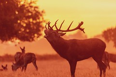 Red deer stags during the rut (ejwwest) Tags: