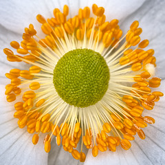 A Bed Of Gold (Sean Batten) Tags: london england unitedkingdom europe flower plant macro nikon d800 60mm pollen canarywharf docklands crossrail eastlondon