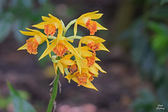 DSC_9427 ~ Yellow Ground Orchid Bok Tower Garden (stephanie.ovdiyenko) Tags: flower tropicalflower garden boktowergarden macro groundorchid orchid yellowflower