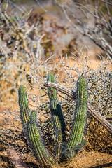Racing Through My Veins (Thomas Hawk) Tags: baja bajacalifornia cabo cabosanlucas loscabos mexico cactus fav10