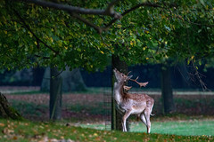 It isn't only grass that is greener when it is just out of reach.   Observing the feeding behaviour of a fallow deer buck at Hackwood Park near Basingstoke. (christina.marsh25) Tags: fallowdeer buck stag feeding leaves beech trees hackwoodpark basingstoke