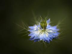 Love-in-a-Mist (Maximilian Busl) Tags: hof bayern deutschland flower closeup nature blue nigella bokeh nikon d850 sigma