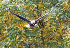 Headed to Lunch (swmartz) Tags: nikon nature maryland october 2019 200500mm d610 wildlife eagle baldeagle birds bird conowingo dam outdoors susquehanna river