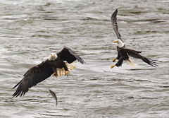 Sneak Attack (swmartz) Tags: nikon nature maryland october 2019 200500mm d610 wildlife eagle baldeagle birds bird conowingo dam outdoors susquehanna river