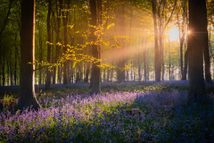 Magical Micheldever Morning (ppaphototours) Tags: bluebells micheldever sunrise summer woods sunstar hampshire