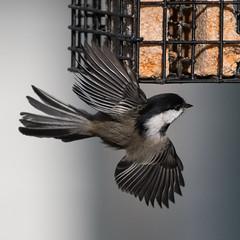 Backyard Bird (nickinthegarden) Tags: blackcappedchickadee abbotsfordbccanada