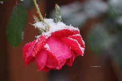 Halloween Snow (Anton Shomali - Thank you for over 3 million views) Tags: winter2019 halloween2019 2019 rain wet after drops droplets beautiful colors red color colours flowers photography photo capture beauty happy sunday rainy sony slta77v flower rose nature september weather fall camera flickr morning snow halloween october cold ice winter