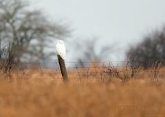 Ghost on a Post (T L Sepkovic) Tags: snowyowl owl raptors birdsofprey canonusa canon canon5dmkiv lenscoat promediagear wildlifephotography
