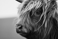 Highland Cattle - Close Up (graemes83) Tags: cow animal cattle highland hairy farm rural outdoors windy nature