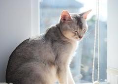 20190801_03_LR (enno7898) Tags: panasonic lumix lumixg9 dcg9 xvario 35100mm f28 cat abyssinian pet