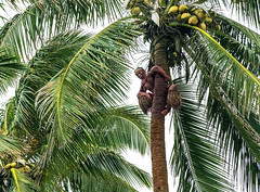 In a Tropical Mood (Darrell Wyatt) Tags: palm native hawaii climb coconut fron leaves trunk strong aloha