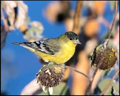 Lesser Goldfinch (Ed Sivon) Tags: america canon nature lasvegas wildlife western wild southwest desert clarkcounty vegas flickr bird henderson nevada preserve