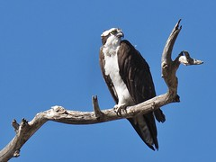 Taking a break from fishing! (EXPLORE) (avilacats) Tags: autumn snag campground pismobeach osprey