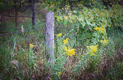 Fence and Goldenrod (HFF) (13skies) Tags: goldenrod fencefriday sonyalpha99 fence hff wireandpost old whistlebarerd grasses secret countryroad sideroad country afternoon