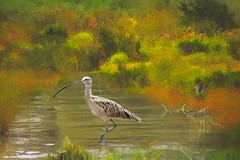 One Precious Moment In Time (Christina's World : On & Off) Tags: landscape longbilledcurlew waterscene 9579 california autumn trees plants painterly bird gold colorful unitedstates sandiego creative lagoon textures waterfowl largebird statepark park morning light nature outdoors mood moody artistic impressionism grasses brightcolors delmar naturepreserve kurtpeiser usa yellow reflections view scenic vegetation southerncalifornia westcoast yellowflowers touristattraction topaz vividcolors coth5