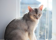 20190801_02_LR (enno7898) Tags: panasonic lumix lumixg9 dcg9 xvario 35100mm f28 cat abyssinian pet