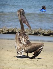 Broken Wing (knightbefore_99) Tags: mexico mexican rincon guayabitos pacific west coast ocean beach playa nayarit pelican bird broken wing sand sol sun sunny