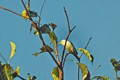 White Starling !! (Lopamudra !) Tags: lopamudra lopamudrabarman lopa starling bird nature andaman andamanandnicobarislands island wilderness india