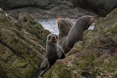 New Zealand fur seal - Chatham Island - Munning Point (Maureen Pierre) Tags: newzealand furseal munningpoint chathamisland fujifilm native xt2 marine mammal