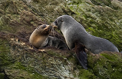 New Zealand fur seal - Chatham Island - Munning Point (Maureen Pierre) Tags: newzealand furseal munningpoint chathamisland fujifilm native xt2 marine mammal npsnz