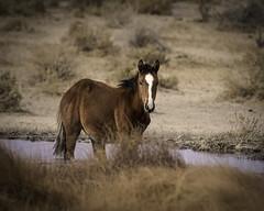 02469376423057-117-19-10-Wild Horses in  Alkali Springs Nevada-5 (Don't Mess With Jim) Tags: 2019 america canon5dmarkiv miningtown nevada october tamronsp150600mmf563divcusdg2 usa alkalispringsnevada autumn desert fall ghosttown mustang wildhorse