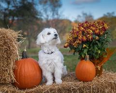 Lily (Rainfire Photography) Tags: dog cotondetulear petphotography halloween petshoot portrait