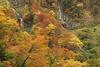 Autumn forest (Teruhide Tomori) Tags: falls autumn landscape nature mountain forest tree toyama tateyama japan japon 称名滝 立山 中部山岳国立公園 日本 秋 自然 森 紅葉 teteyama 富山県 滝