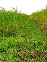 Rice Paddies in Chom Nang Nuea 2 (SierraSunrise) Tags: thailand phonphisai nongkhaiisaan esarn farming agriculture plants rice grain ricepaddies ricepaddy paddyrice