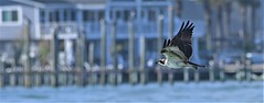 2019.10.30.8018 Osprey III (Brunswick Forge) Tags: 2019 florida grouped day sunny air sky clear staugustine autumn nikond500 nikkor200500mm animalportraits pictureoftheday nature wildlife animal animals raptor bird birds osprey nikonflickraward commented favorited