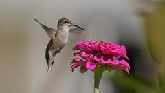 Ruby-throated Hummingbird  6472 (Paul McGoveran) Tags: bif bird birdinflight nature nikon500mmf4 nikond850 norfolkcounty rubythroatedhummingbird wings coth5