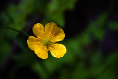 Yellow (Roi.C) Tags: flowers blossom nature season outdoor outside macro bokeh colors colours bright light digital photo sharp nikkor nikon d5300 composition flower 2017 green 18140mm spring beautiful color colour lighting camera photography view flowering leaves photograph yellow beauty
