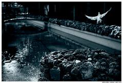 Easy Days (Matías Brëa) Tags: volar volando fly pigeon dove virado monochrome monocromo mono agua water parque park