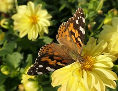 Painted Lady on Dahlia (shelly.morgan50) Tags: shellymorgan50 panasoniclumixdzzs200 butterfly nature garden macro closeup details paintedlady butterflies colorful bright sunshine light vanessacardui insect beauty sunny dahlia flower textures patterns