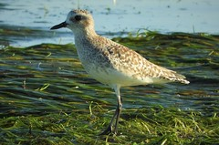 Black-Bellied Plover in Mission Bay (Ruby 2417) Tags: plover bird wildlife nature shorebird mission bay water shore beach seaweed