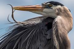 Fine Tunning (xrayman.dd) Tags: blueheron marshbirds
