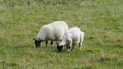 M2126233 E-M1ii 150mm iso200 f5.6 1_500s 0 (Mel Stephens) Tags: 20191012 201910 2019 q4 widescreen wide 16x9 olympus omd em1ii ii microfourthirds m43 mft mirrorless mzuiko 40150mm gps truecolor animal animals livestock sheep lamb sheared uk scotland angus glen esk rocks solitude